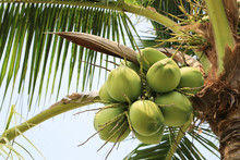 Coconut Fruit On Coconut Tree ...