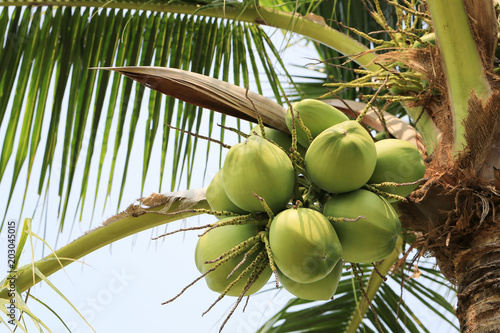 coconut fruit on coconut tree in garden Thailand.