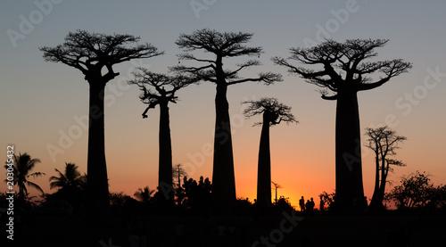Ingelijste posters Baobab Coucher de soleil sur l'Allée des Baobabs