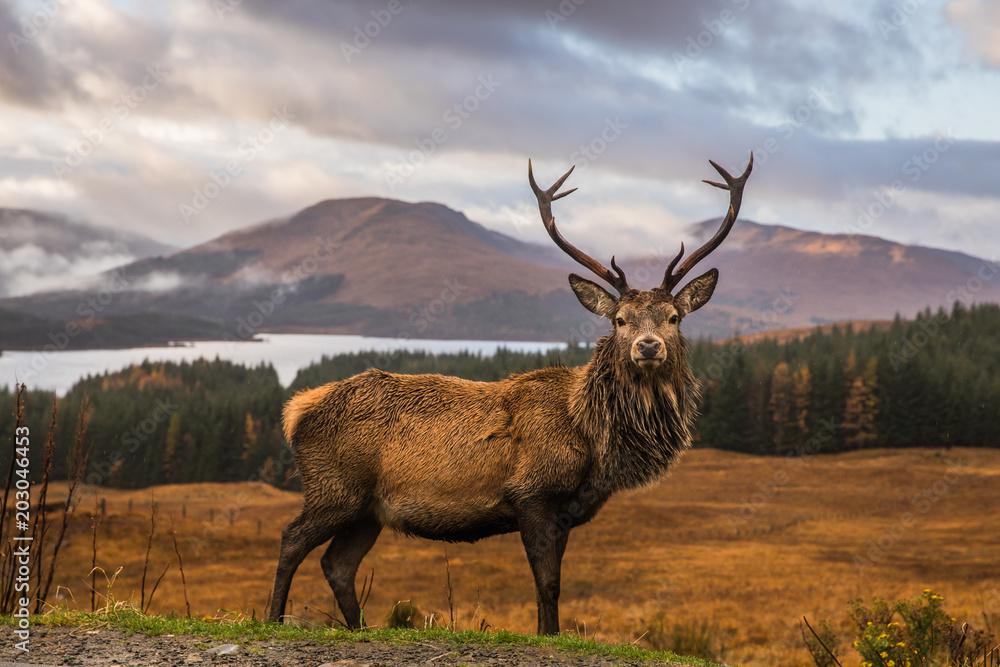 Fototapeta Portrait of a free and wild Scottish stag, as captured in the Highlands