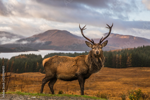 Photo sur Toile Cerf Portrait of a free and wild Scottish stag, as captured in the Highlands