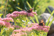 Aglais Urticae, Small Tortoiseshell Butterfly On Pink Flowers, Beautiful Natural Background With Butterfly In Garden