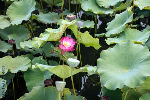 Deurstickers Waterlelies 물위의 분홍빛 연꽃