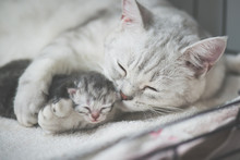 American Shorthair Cat Kissing Her Kitten