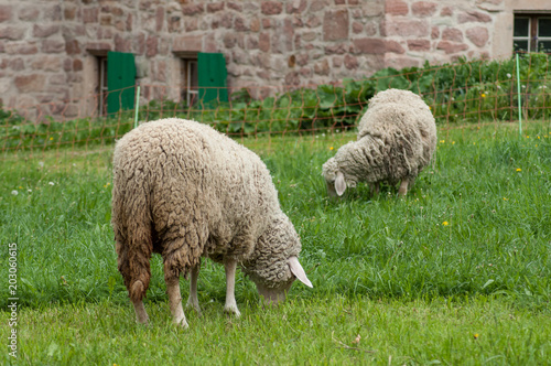 Foto op Canvas Schapen portrait of sheep grazing in a meadow