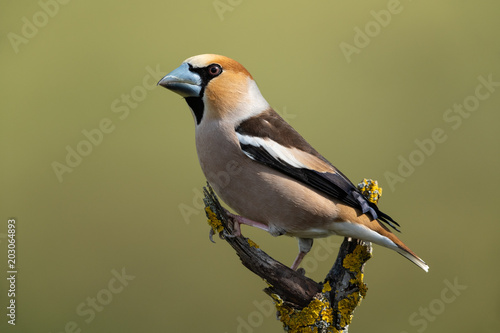Fotomural Hawfinch, Coccothraustes coccothraustes
