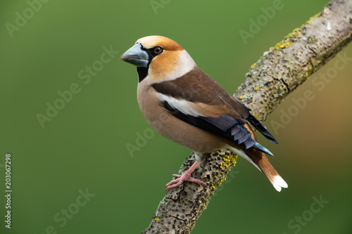 Photo Hawfinch, Coccothraustes coccothraustes