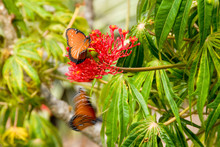 Butterflies And Red Flower In Costa Rica