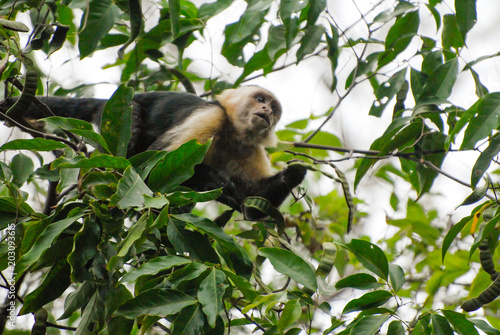 Fotografia, Obraz  A Capuchin monkey watches from his tree the hikers walking on the way to Corcova