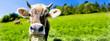 canvas print picture - Kuh mit Hörnern