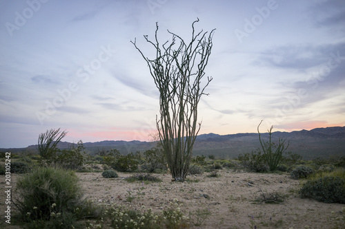 Tuinposter Planten Plants growing on field at Joshua Tree National Park during sunset