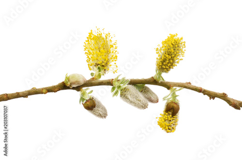 Pussy willow flowers Canvas Print