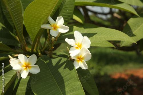 Deurstickers Frangipani fiore plumeria