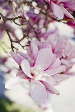Close-up Of Pink Magnolia Bloo...