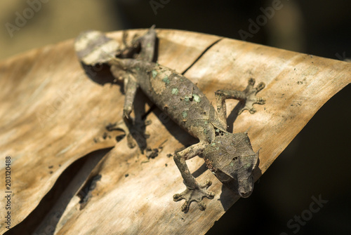 Uroplate satanique, Uroplatus phantasticus, Madagascar