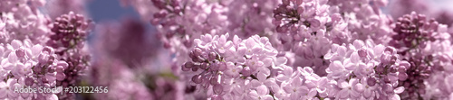 Staande foto Lilac header panorama springtime bunches of lilac blossoms on branches