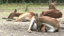 Three Deer Sitting On Ground