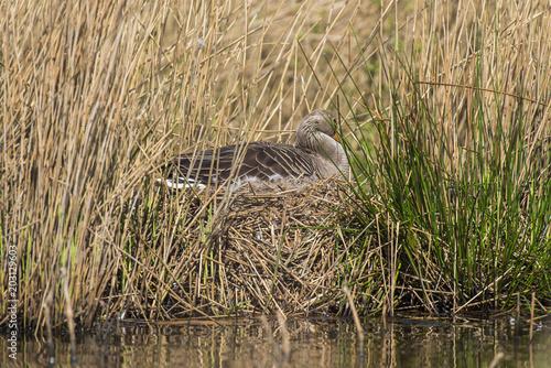 Greylag goose (Anser anser) sitting on nest in reedbed.