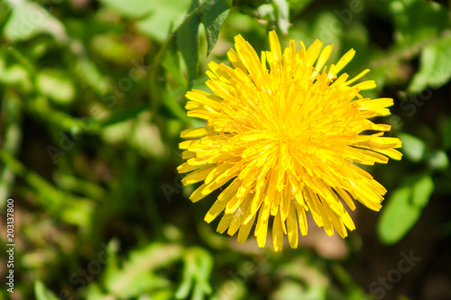 Fototapeta sow-thistle on the meadow