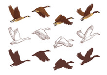Goose Flying Process In Different Poses. Isolated Illustration On White Background. Three Different Versions: Colorful Illustration, Hand Drawn Sketch And Silhouette. Vector Illustration.