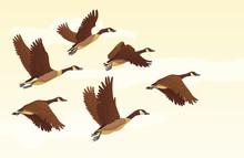 Flock Of Migrating Geese Flyin...