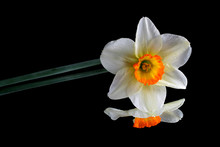 Narcissus Flower On Black Refl...