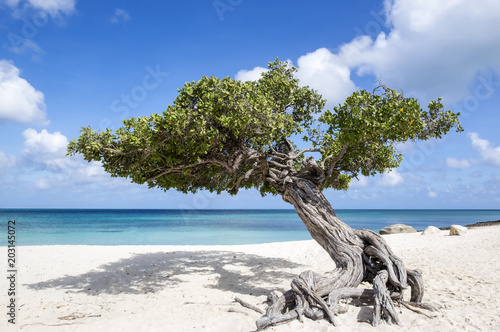 Divi Divi Tree on Eagle Beach Aruba, Caribbean фототапет