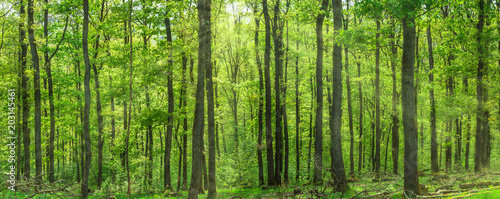 Garden Poster Forest Beautiful deciduous forest in fresh green broadleafs. Sunlight beams breaking through the treetop.
