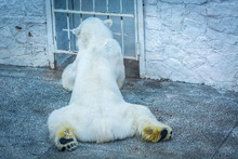 Polar Bear Collapsed In The Zo...