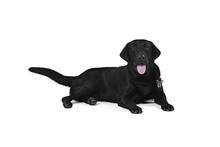 Black Labrador Retriever Puppy...