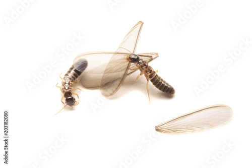 Alates or Flying Termite on White background.