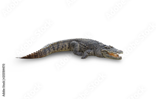 Foto op Plexiglas Krokodil asian crocodile isolated on white background