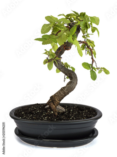 In de dag Bonsai miniature bonsai tree Chinese elm isolated on a white background.