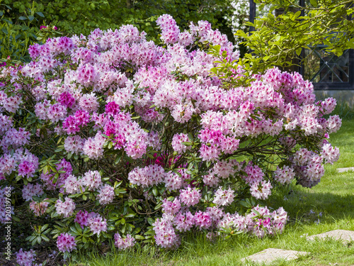 Rhododendron dans un jardin d\'ornement - Buy this stock ...