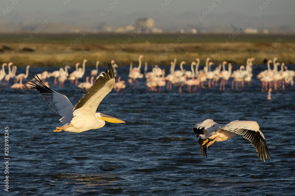 Pelikane vor Kolonie Rosaflamingos (Phoenicopterus roseus), Pelican Point (Namibia)
