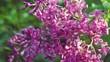 Lilac purple flowers tree , natural seasonal spring floral macro