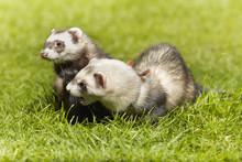 Nice Ferret Couple On Fresh Gr...