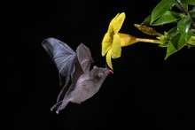 Pallas's Long-tongued Bat - Gl...