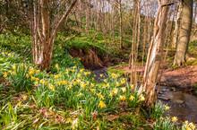 Wild Daffodils In Letah Wood /...