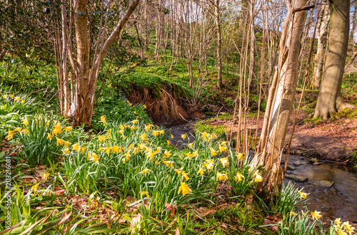 In de dag Narcis Wild Daffodils in Letah Wood / Letah Wood is a rural ancient woodland through which Letah Burn runs, near Hexham in Northumberland