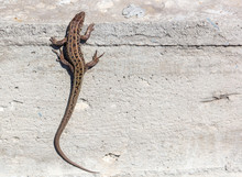 The Lizard Sits On A Concrete ...