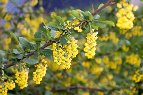 Bright Yellow Flowers Of Berberis Thunbergii Blooming In Spring