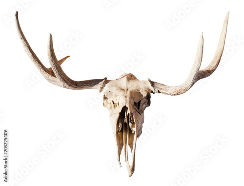 front view of skull of young moose animal isolated