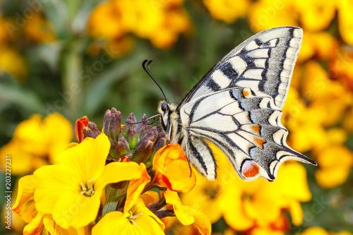 Obraz na plátně Papilio machaon. Macaón. Mariposa..
