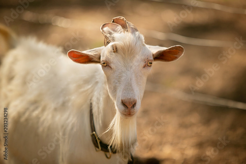 Male Goat on a Farm in the Summer Poster