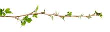 Branch Of Raspberry Bush With ...