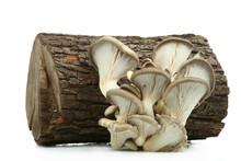 Fresh Oysters Mushrooms