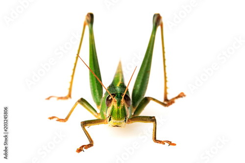 Young green grasshopper isolated on white background. Canvas Print