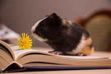 Little Fluffy Guinea Pig With ...