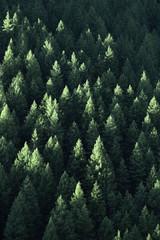 FototapetaForest in Wilderness Pine Trees